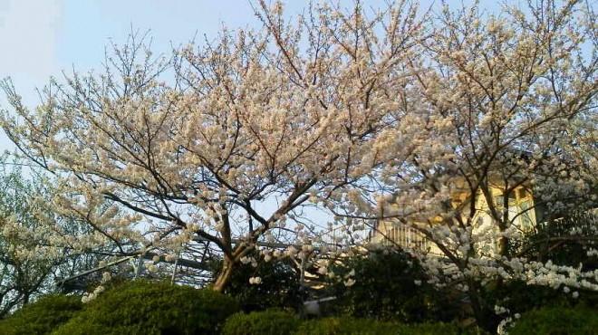八重桜はまだですが、染井吉野が満開となりました。きれいです。31日には、支援ハウスの方々による夜桜を見ながらの食事会が予定されています。