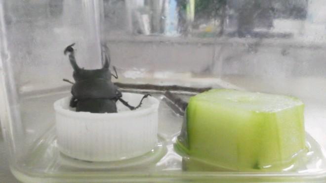 暑く虫の季節になりました。施設にも、時々飛んできます。虫かごにペットボトルのキャップにいれた砂糖水ときゅうりを一切れ入れていたら、砂糖水にまったりと浸かっていました!!