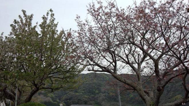 ソメイヨシノと八重が花をそろえました!